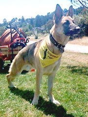 Three Legged German Shepherd Rescue Dog Travis