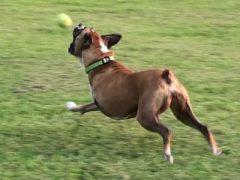 Three Legged Boxer Dog Roxy